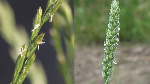 Lecciones de las parábolas: El trigo y la cizaña