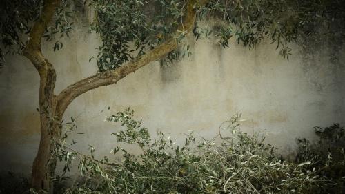 arbol-olivo