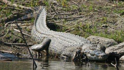 El feroz cocodrilo del Nilo