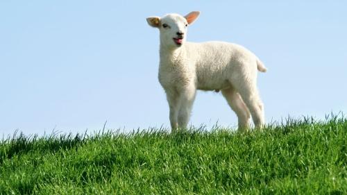 Um cordeiro no topo duma colina de grama verde.