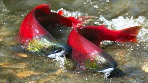 salmon-rojo-silvestre