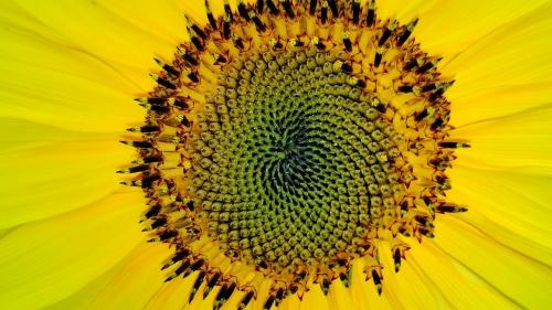 El maravilloso girasol desafía la teoría de la evolución de Darwin