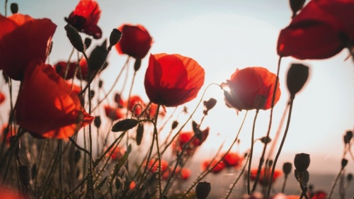 No veo a la amapola como un símbolo pro guerra, sino como un conmovedor recordatorio de la locura y la tragedia de la guerra, especialmente de la Primera Guerra Mundial