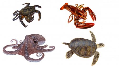 El cangrejo, la langosta, el pulpo y la tortuga son animales no aptos para consumo humano.