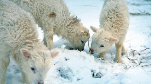 No hay ninguna mención de pastores especiales que pastorean sus ovejas para el templo a la intemperie durante las noches invernales.