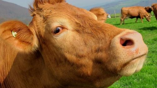 ¿Esta vaca se hizo por sí misma? Aparentemente sí, si es que cree en la evolución darwiniana.