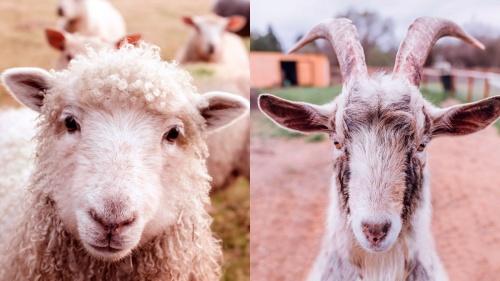 La parábola de las ovejas y las cabras. Ungimiento de Jesús en Betania.