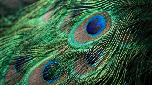 Cómo la asombrosa pluma de pavo real refuta la evolución