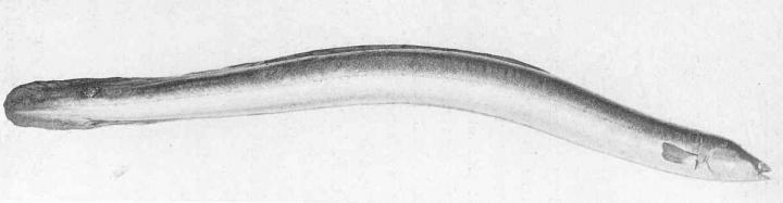 Anguila o congrio