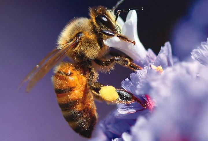 """Dios diseñó a las abejas de manera tan perfecta, que incluso incorporó una """"brújula"""" en su fisiología."""
