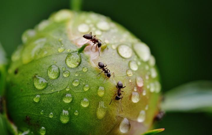El diminuto y complejo mundo de unas hormigas podadoras de pasto logramos conocer muy de cerca. Toda la comunidad está siempre trabajando con un sólo propósito: alimentarse. Pero no comen pasto.