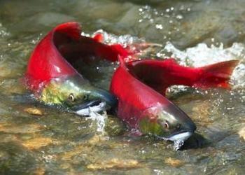 El salmón rojo silvestre